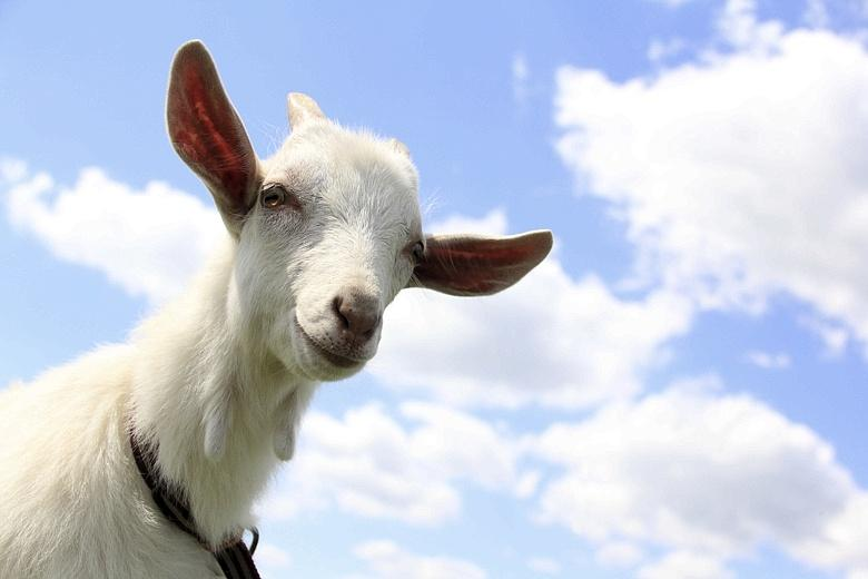 Goat Meat Set To Be The Next Big Food Trend
