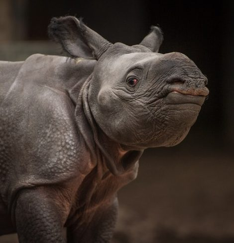 Chester Zoo Welcomes Baby One-Horned Rhino