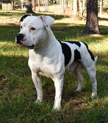 Caring for Your American Bulldog